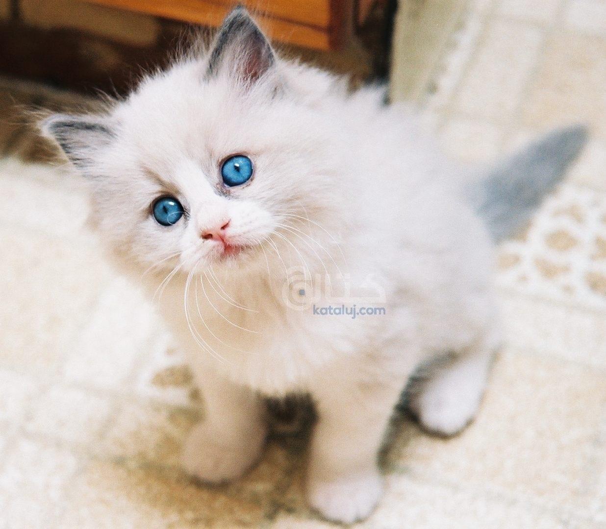 اسعار القطط الشيرازى